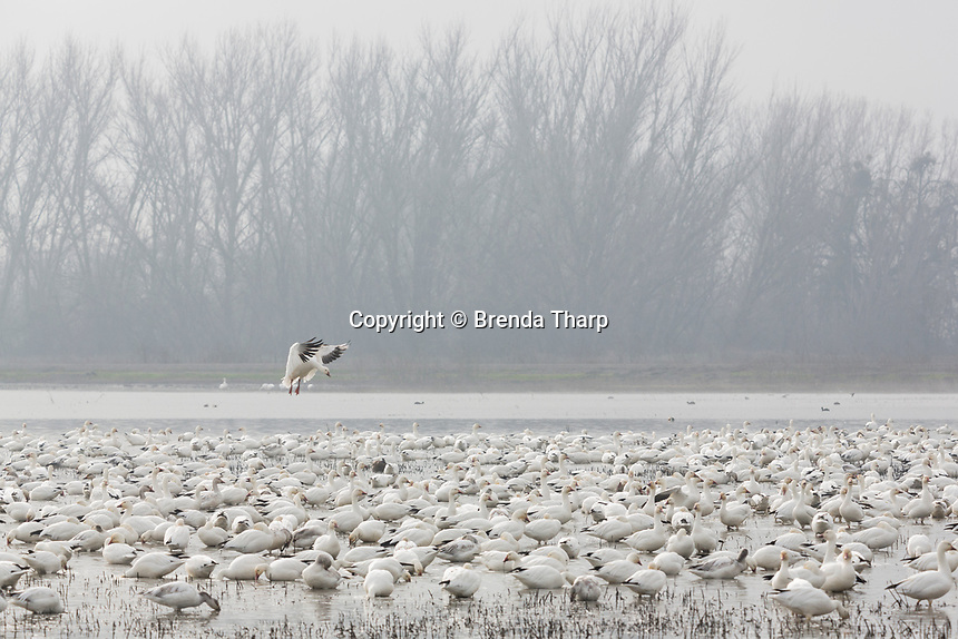 A goose lands amidst the flock on a pond in Merced National Wildlife Refuge, central California.