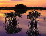 Everglades National Park, FL: Red mangrove (Rhizophora mangle) silhouettes reflecting on a stillwater marsh at dawn
