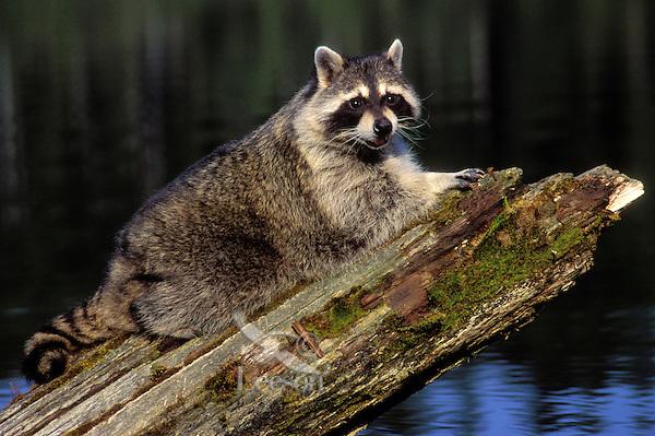Raccoon at edge of lake..Autumn. North America..(Procyon lotor).