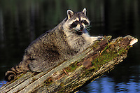 Raccoon at edge of lake..Autumn. North America..(Procyon lotor).