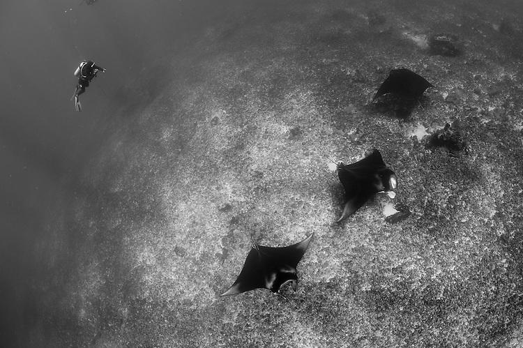 A trio of Reef manta ray: Manta alfredi, swimming above a reef top, Komodo National Park