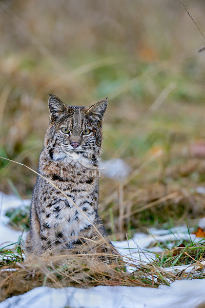 Wild Bobcat (Lynx rufus) in old homestead field.  Olympic National Park, WA.  November.  (Completely wild, non-captive cat.)  Patches of old snow.