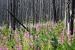 a burned forest in the bob marshall wilderness with fireweed blooming.
