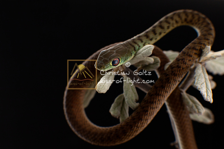 A juvenile spotted bush snake at the top of a branch. This harmless snake is fairly common in Southern Africa but it is highly alert and nervous so that it is seldom seen. It cannot be kept as a pet since it refuses to feed in captivity. This juvenile is about 20 cm long, adult length is up to 90 cm.