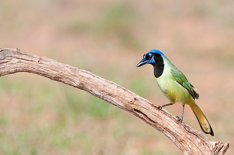 Green Jay waiting above a water hole.