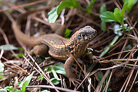 April 9th, 2011_HAITI_ Lizards are abundent near the road which links Port Solut to Park Makaya, which is south west of the Haitian capital city of Port au Prince. Park Makaya is in an extremely remote area of Haiti and is known to be a biodiversity hotspot.  Photographer: Daniel J. Groshong/The Hummingfish Foundation