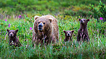USA, Alaska, Katmai National Park, brown bear (Ursus arctos) and three cubs stand in field with fireweed