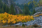 Aspen trees in fall near Tioga Pass, Mono County, California