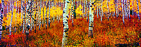 Aspens trees in La Sal Mountail, Mant-LaSal National Forest, Utah Populus tremolaides