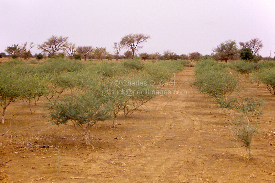 Gum Arabic.  Rows of Acacia Senegal trees in a gum Arabic plantation, Niger, West Africa.
