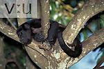 Mantled Howler monkey (Alouatta paliata)