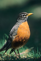 American Robin, Strawbridge Lake, New Jersey