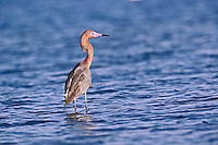 Reddish Egret, Egretta rufescens, Ding Darling National Wildlife Refuge, Sanibel Island, Florida