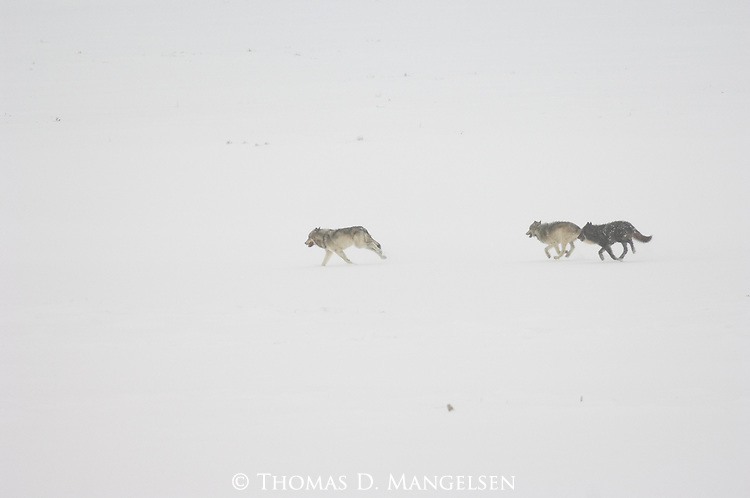 Three wolves from the Druid pack run across the snowy landscape of Yellowstone National Park, Wyoming.