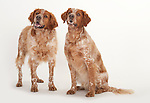 Pair of Brittany Dog, Standing & Sitting, Studio, White Background