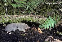 MU10-071z  Short-tailed Shrew - Blarina brevicauda