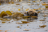 Souther Sea Otter, Point Lobos State Marine Reserve