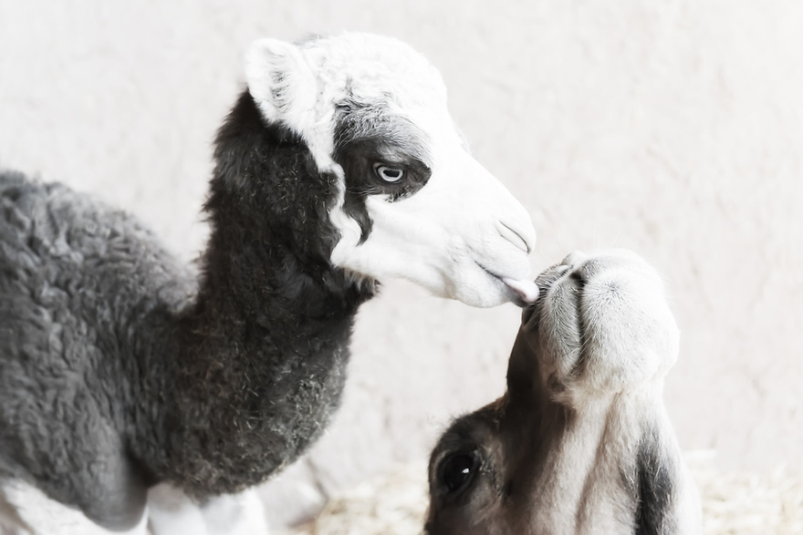 Closeup of a camel (dromedary) baby licking her mothers face.