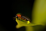 Firefly insects are actually beetles, nocturnal members of the family Lampyridae. Most fireflies are winged, which distinguishes them from other luminescent insects of the same family, commonly known as glowworms. There are about 2,000 firefly species. These insects live in a variety of warm environments, as well as in more temperate regions, and are a familiar sight on summer evenings. Fireflies love moisture and often live in humid regions of Asia and the Americas. In drier areas, they are found around wet or damp areas that retain moisture.