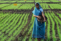 INDIA Madhya Pradesh , organic cotton project bioRe in Kasrawad  , woman applies compost in wheat field of biore experimental farm, wheat as part of crop rotation with cotton and soya | INDIEN Madhya Pradesh , Frau verstreut Kompost in Feld mit jungem Weizen, Weizen ist Teil der Fruchtfolge mit Baumwolle und Soya , biore Projekt fuer biodynamischen Anbau von Biobaumwolle in Kasrawad