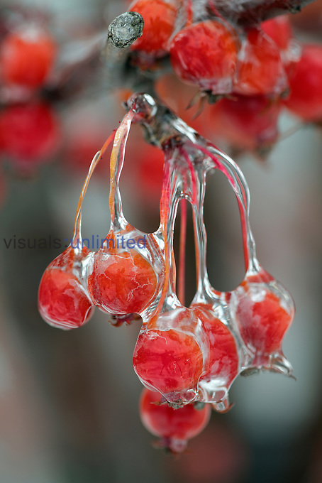 Berries covered with ice, Louisville, Kentucky, USA.