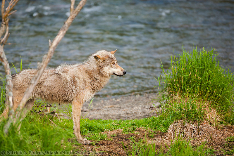 Gray wolf in the Brooks river, Katmai National Park, southwest, Alaska.