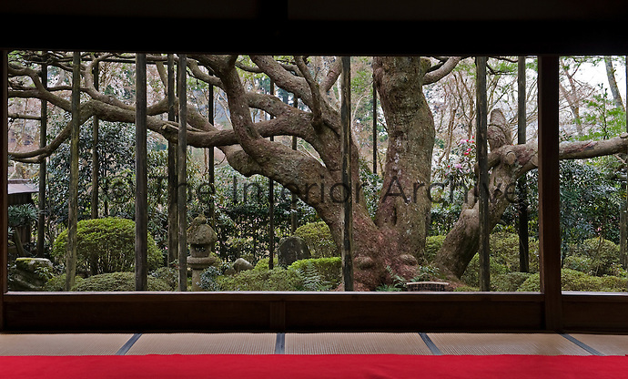 A view of the sprawling trunk of a Japanese white pine (Pinus parviflora) and surrounding clipped bushes from a gallery at the Hosen-in Temple, near Kyoto
