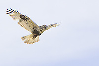Rough-legged Hawk soaring over a field
