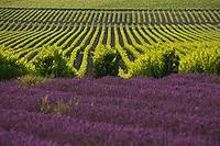 Vignoble de la vallée du Rhône / Rhône vineyard