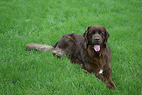 Brown Newfoundland Dog Laying in the Grass