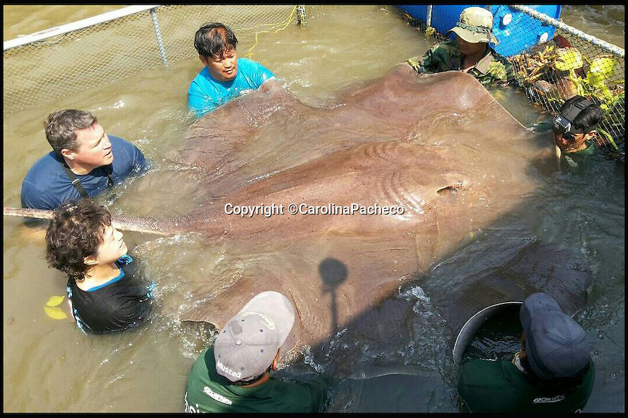 BNPS.co.uk (01202 558833)<br /> Pic: CarolinaPacheco/BNPS<br /> <br /> ***Please Use Full Byline***<br /> <br /> Jeff Corwin and Dr. Ning (female) measure the stingray with help from workers from Fishsiam.<br /> <br /> The world record for the largest freshwater fish caught by rod and line has been broken with the catch of this stunning stingray.<br /> <br /> The gigantic flat fish that has a lethal barb measured almost 8ft in width, 14ft in length and weighed almost 800lbs (57 stones) and was caught by TV presenter Jeff Corwin in Thailand.