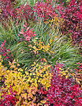 Lolo National Forest, MT: Yellow and red leafed huckleberry bushes and bear grass (Xerophyllum tenax) in fall