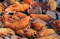 Pacific walrus, Odobenus rosmarus divergens, colony, resting on rocky shore, Round Island, Walrus Islands State Game Sanctuary, Alaska, Pacific Ocean