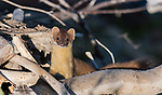 Long-tailed weasel on beaver dam. Grand Teton National Park, Wyoming.