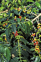 Kona coffee plant, close-up of beans (red and green) with leaves, Greenwell Farms, Kealakekua, Island of Hawaii