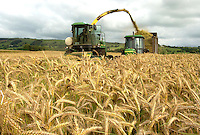 Forage harvesting 30 acres of Taurus triticale on J. M. and E. J. Airey's Black Moss Farm near Longridge, Preston Lancashire. The whole crop silage, yielding between 12 and 14 tonnes per acre, will fed in a TMR to the farm's 200 Loudside Holstein milkers.