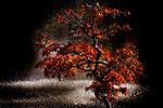Japanese maple during autumn at Van Dusen Botanical Garden.