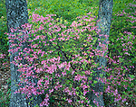 Blue Ridge Parkway, VA: Pink Azalea (Rhododendron nudiflorum) against spring greens of the decidous forest