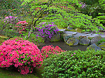 Seattle, WA<br /> Evergreen azaleas in blossom in the Japanese garden in the Washington Park Arboretum