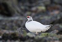 Rype i vårdrakt. --- Ptarmigan in spring plumage.