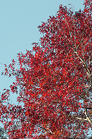 Scarlet Oak Quercus coccinea (Fagaceae) HEIGHT to 28m<br /> Rather slender, domed tree. BARK Dark greyish-brown, smooth in young trees, ridged with maturity. BRANCHES Slender and spreading. LEAVES 15cm-long, even more deeply lobed than Pin Oak but less strongly bristle-tipped. In summer, leaves are glossy green above and paler below with small hair-tufts in vein axils below. Turn brilliant red in autumn, especially in cultivar Q. coccinea 'Splendens'. REPRODUCTIVE PARTS Acorns, to 2.5cm long, are rounded, half-enclosed in a slightly glossy cup. STATUS AND DISTRIBUTION Native of E North America. Planted here for its brilliant autumn colours.