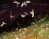 MEXICO, Baja, Storm Petrels in flight at night, San Benitos Islands