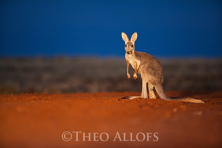 Australia,  NSW, Sturt National Park; red kangaroo female standing on road at dusk in beam of vehicle (Macropus rufus); the red kangaroo population increased dramatically after the recent rains in the previous 3 years following 8 years of drought