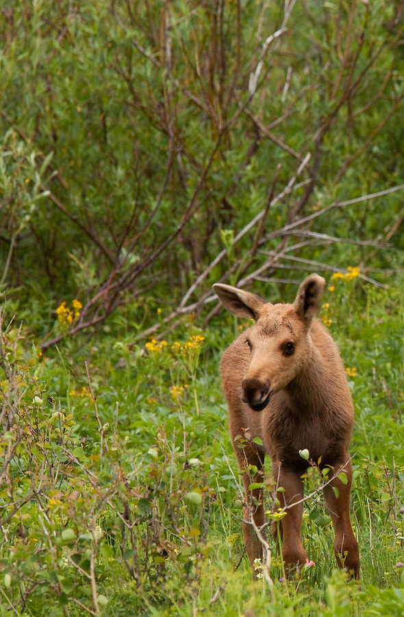 A young moose stands near the treeline in Glacier National Park, Montana.
