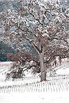 Snow-covered oak trees in a vineyard in California's Shenandoah Valley.