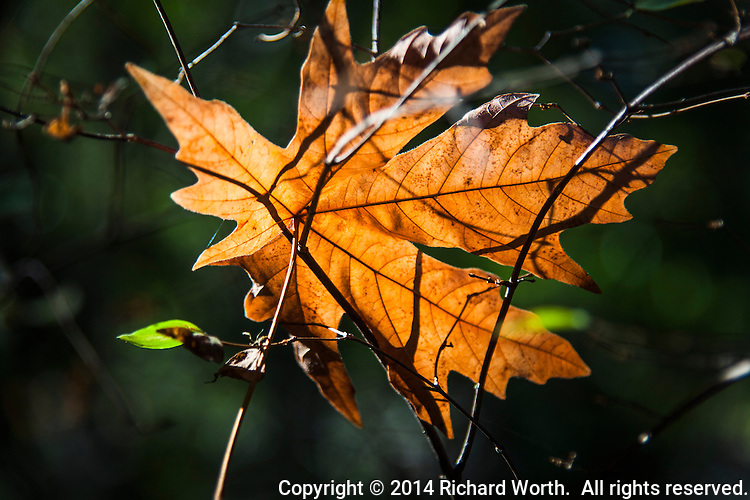 A falling maple leaf has been snagged in mid-air by the dried brush along a trail at the Las Trampas Regional Wilderness.