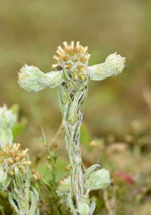 Common Cudweed - Filago vulgaris