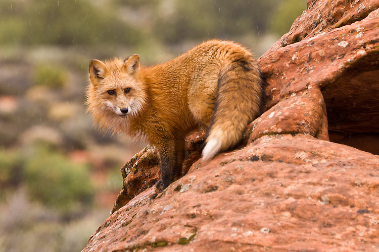 Red Fox standing on the side of a red rock in the rain - CA