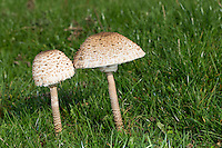 Parasol, Parasolpilz, Riesenschirmling, Riesen-Schirmling, Riesenschirmpilz, Macrolepiota procera, Lepiota procera, parasol mushroom