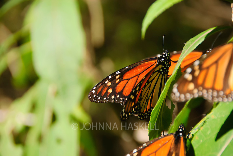 Monarch Butterflies make a migration much like birds to survive the winters in Monarco, Mexico.